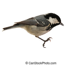 Coal Tit Perching - Isolated - Perching Coal Tit Isolated on...