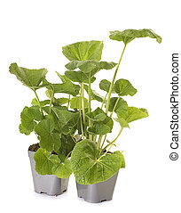 Alcea rosea plant in front of white background