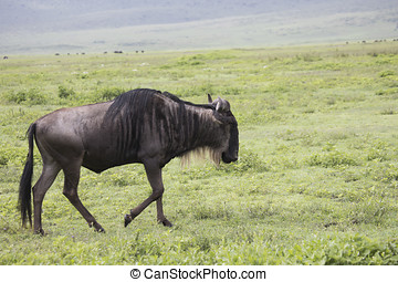 Walking wildebeest, Ngorongoro Crater, Tanzania - Profile of...