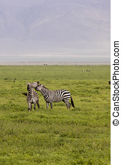 Zebra fighting in field, Ngorongoro Crater, Tanzania -...