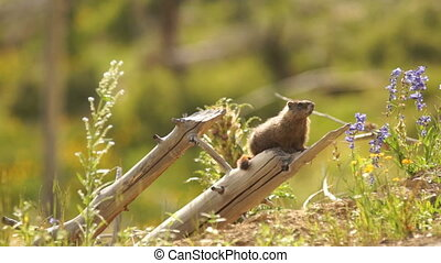An Elusive Marmot Sitting on Log Windy Day Near Den -...