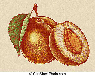 Engrave isolated apricot hand drawn graphic illustration -...