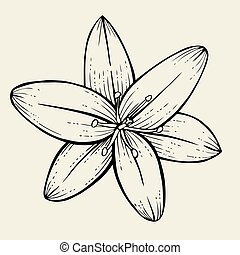 Hand drawn Lily flower, illustration isolated on beige...