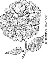 Hydrangea flowers isolated on white background. Hand drawn hatching engraved drawing.