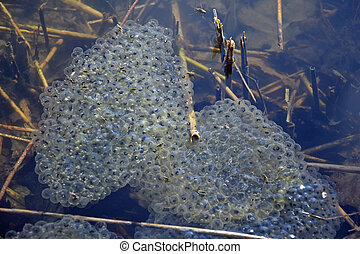 frog spawn in a lake