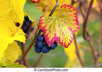 Red Wine Grapes on Vine Closeup