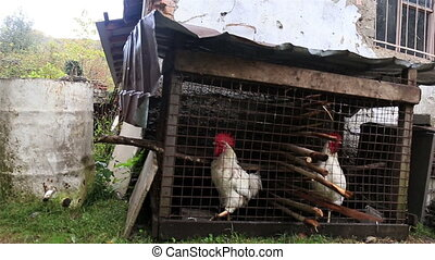 Two white cocks at the cage on the farm