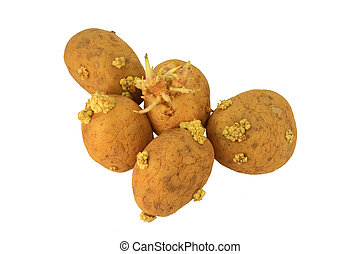 Sprouted potatoes - Picture of Yellow Sprouted potatoes that...