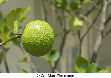 Single green lime on tree