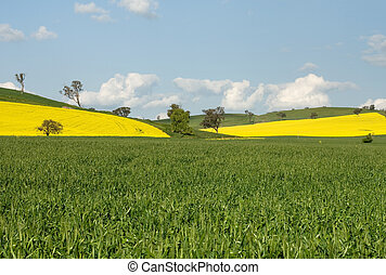 Flowering Canola Fields - Canola crops, in full Spring...