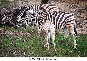 Burchell's Zebra family group (Equus quagga burchellii)