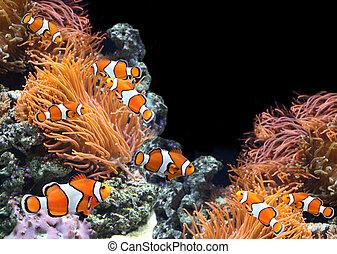 Sea anemone and clown fish in marine aquarium. On black...
