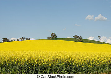 Flowering Canola Field - A Canola crop, in full Spring...