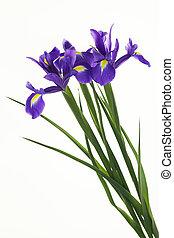 Violet Irises, Bulbous iris, Iris sibirica on white...