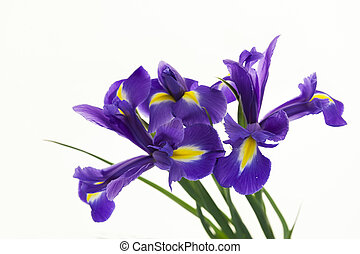 Violet Irises, Bulbous iris, Iris sibirica on white...