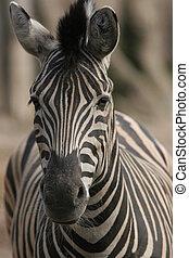 Burchell\'s Zebra - Burchell\'s zebra portrait