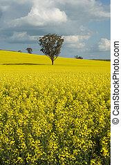 Flowering Canola Field