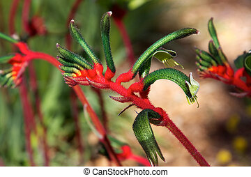 Kangaroo Paw Flower - The Red and Green Kangaroo Paw...