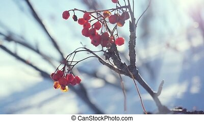 Rowan branch red berries winter beautiful nature snow on a...