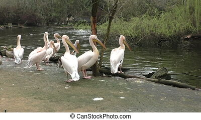 Flock of white pelicans on the lake