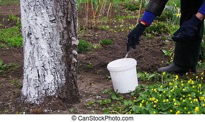Gardener Whitewash Tree Trunk with Chalk in Garden, Tree...