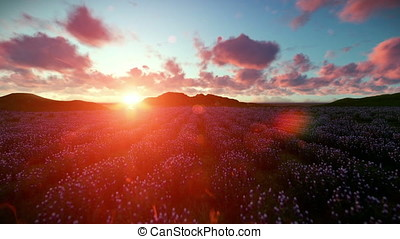 Lavender field against beautiful timelapse sunset, camera fly