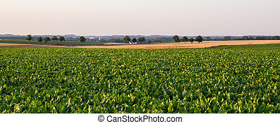green field and sugar beet - Sugar beet and cereals field in...