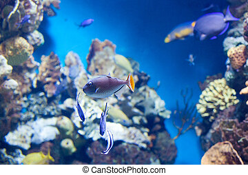 Sargassum Triggerfish swimming on coral reef in aquarium