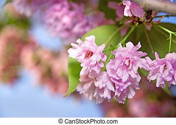 flor, roxo,  sakura