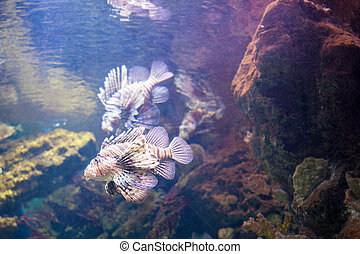 beautiful Lionfish on the coral reefs