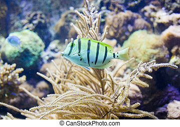 Sergeant major fish on background of a coral reef in...