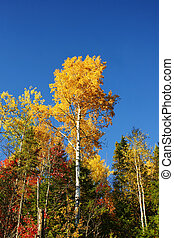 Vertical yellow poplar and blue sky