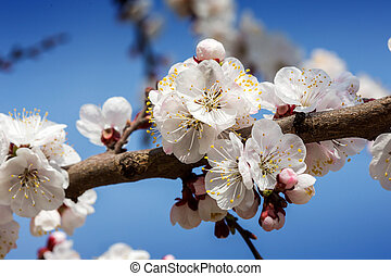 Apricot blossom flowers in spring.