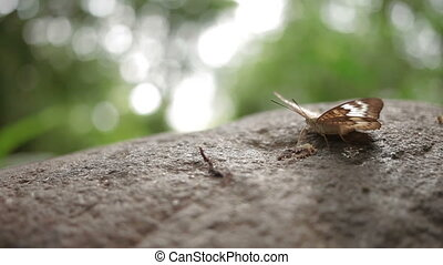 Butterfly explores something on stone with it's proboscis.