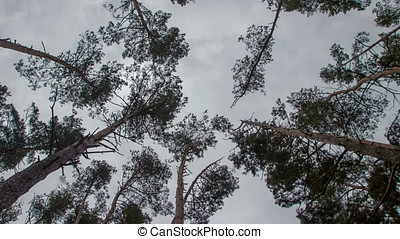 treetops in the spring forest timelapse
