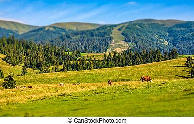 few cows grazing on hillside meadow. rural fields near the...
