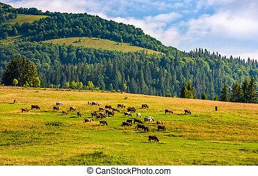 few cows grazing on hillside meadow. fence on rural fields...