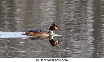 Grebe - Great Crested Grebe