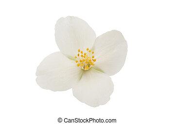 jasmine flower on a white background
