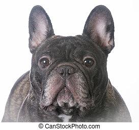 brindle french bulldog female portrait on white background