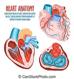 Heart structure, medical and anatomy poster - Anatomy of...
