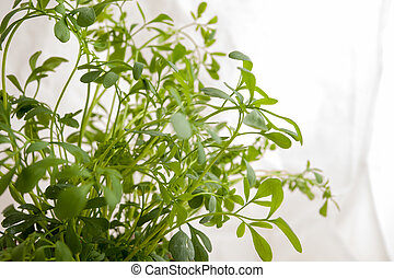 Ruta graveolens plant. - Small plant of rue ready to be...