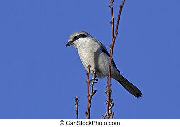 Northern grey shrike (Lanius excubitor) - Northern grey...