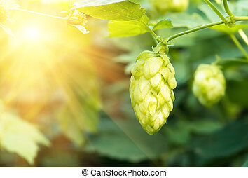 Green fresh hop cones for making beer, closeup - Green fresh...