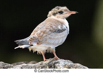 Baby bird of Common Tern. - common tern baby waiting for its...