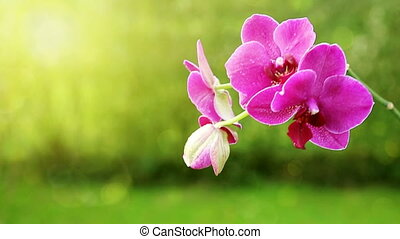 Branch of pink orchids on a green background. - Pink orchid...