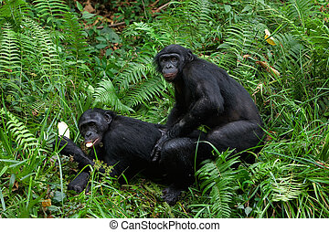 Bonobo mating. / Lola Ya Bonobo. Democratic republic Congo.