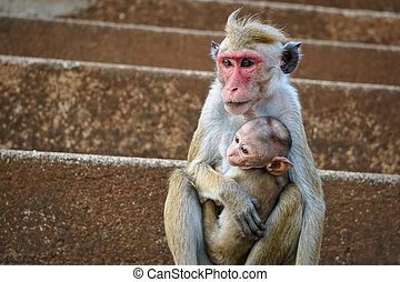 Sri lankain Toque macaque monkey, sitting with a baby...