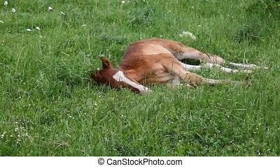 young horse graze on green grass field 1