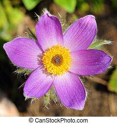 Anemone pulsatilla. - Spring Flower Pulsatilla Patens....